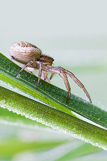 Crab spider'Xysticus sp.jpg