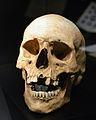 Crani amb dupondi d'Antoní Pius, museu de Prehistòria de València.JPG