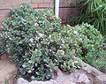 Crassula arborescens - KNBG 6.jpg