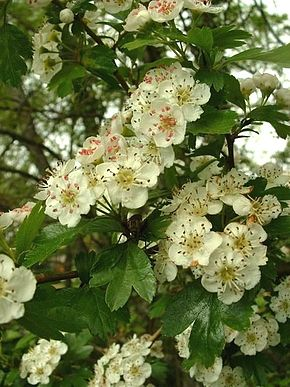 Description de l'image  Image:Crataegus_laevigata.jpg.