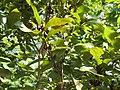 Cratoxylum formosum, feuilles et fruits, Laos.jpg