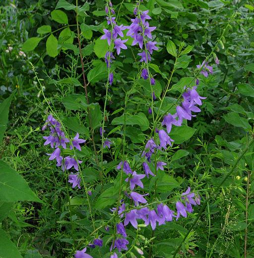 Creeping Bellflower, Ottawa Akkerklokje (Campanula rapunculoides) bijendrachtplant
