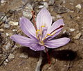 Crocus cartwrightianus Sounion 2.jpg