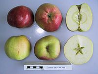 Cross section of Csikos Orias Halasi, National Fruit Collection (acc. 1948-359).jpg
