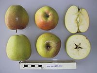 Cross section of Porter, National Fruit Collection (acc. 1950-036).jpg