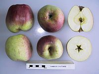 Cross section of Rambour d'Automne (Belgium), National Fruit Collection (acc. 1948-597).jpg