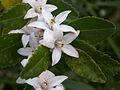 Crowea angustifolia var dentata.JPG