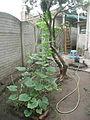 "Cucurbita argyrosperma ""calabaza rayada o cordobesa"" (Florensa) hábito y cama de siembra planta1 (izq) planta2 (der).JPG"