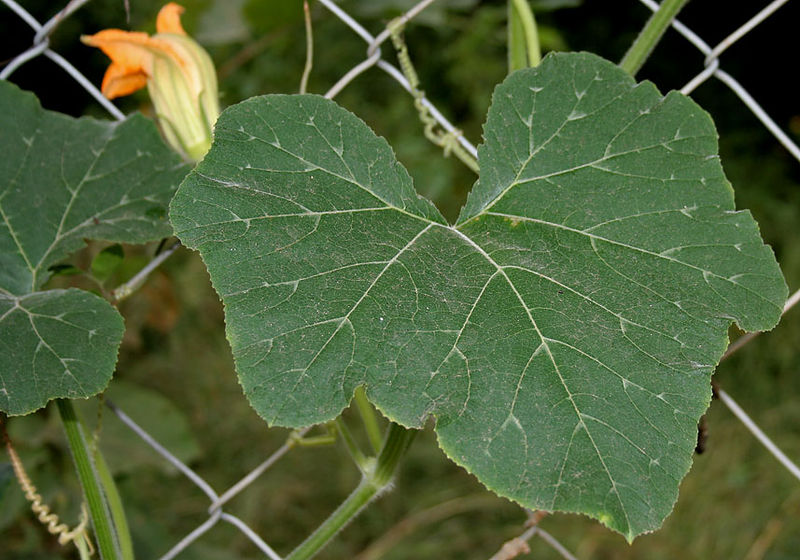 cucurbita maxima  pumpkin   winter squash