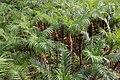 Cultivation of Phoenix Roebelenii in Hachijo Island 01.jpg