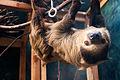 Curious Sloth (18100369512).jpg