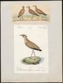 Cursorius gallicus - 1700-1880 - Print - Iconographia Zoologica - Special Collections University of Amsterdam - UBA01 IZ17200299.tif