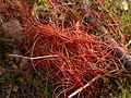 Cuscuta epithymum (habitus).jpg