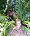 Cycas circinalis kz3.JPG