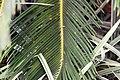 Cycas revoluta 23zz.jpg