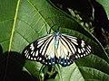 Cyclosia papilionaris - Drury's Jewel - at Peravoor (6).jpg