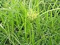 Cyperus esculentus.jpg