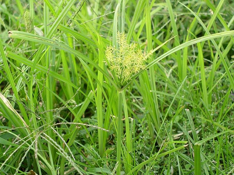 File:Cyperus esculentus.jpg