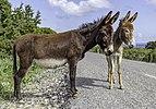Cyprus donkeys, Karpaz, Northern Cyprus.jpg