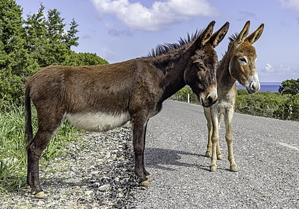 Cyprus donkeys, Karpaz, Northern Cyprus