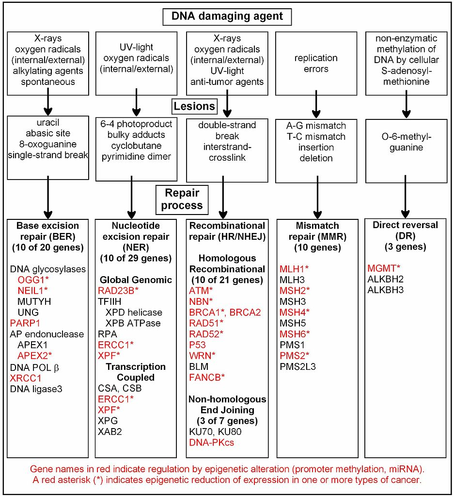 Organizational Chart Examples: DNA damage repair epigenetic alteration of repair in cancer ,Chart