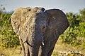 DSC07176.jpeg Elefant, afrik. (50713118448).jpg