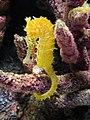 DSC28101, Zebrasnout Seahorse, Monterey Bay Aquarium, Monterey, California, USA (7066354095).jpg