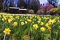 Daffodil-hill.jpg