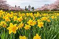 Daffodils (33454787572).jpg