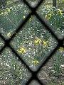 Daffodils - geograph.org.uk - 715211.jpg