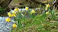 Daffodils in Farndale, North Yorkshire - geograph.org.uk - 218219.jpg
