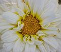 Daisy macro - Flickr - Swami Stream.jpg