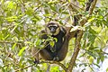 Dark-handed or Agile Gibbon (Hylobates agilis) Tanjung Puting National Park - Indonesia 2.jpg