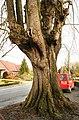De Zeven-Sacramentenboom , opgaande linde - 375933 - onroerenderfgoed.jpg