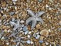 Dead starfish on the beach near Deal - geograph.org.uk - 995583.jpg