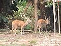 Deer, Sepahijala WLS.jpg