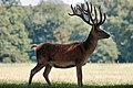 Deer - Woburn Abbey Deer Park (36274514890).jpg