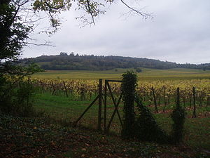 Denbies Wine Estate - Vines at Denbies, looking towards Ranmore Common (taken in autumn). Denbies house would have been visible on the brow of the hill.