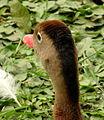 Dendrocygna autumnalis (Iguaza común) (14238454022).jpg