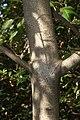 Dendropanax trifidus (trunk s2).jpg