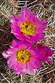 Desert flora of the Moab, Utah area (16058499461).jpg