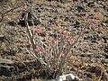 Desert rose Adenium obesum in Tanzania 1851 Nevit.jpg