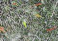 Deuterocohnia brevifolia (18961674903).jpg