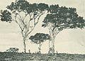 Deutsch-Ostafrika, Ostafrikanische Nutzpflanzen (Busse) - Tafel 42 - Kopalbäume.jpg