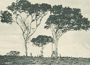 Hymenaea verrucosa - Image: Deutsch Ostafrika, Ostafrikanische Nutzpflanzen (Busse) Tafel 42 Kopalbäume