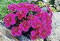 Dianthus alpinus 'velours bordeaux'.jpg