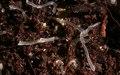 Dictyostelium discoideum slug 1.tif