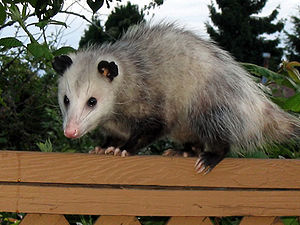 Virginia opossum (Didelphis virginiana) photog...