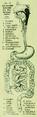 Die Frau als Hausärztin (1911) 018 Schematische Uebersicht des Verdauungskanals.png