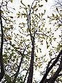 Dillenia pentagyna flowering by Dr. Raju Kasambe DSCN1362 (22).jpg
